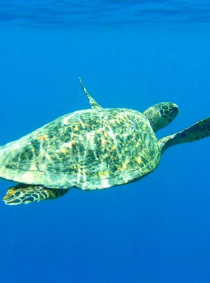 Sea turtle PADI Open Water Diver Course